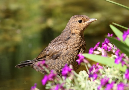 Portrait of a young Blackbird photo