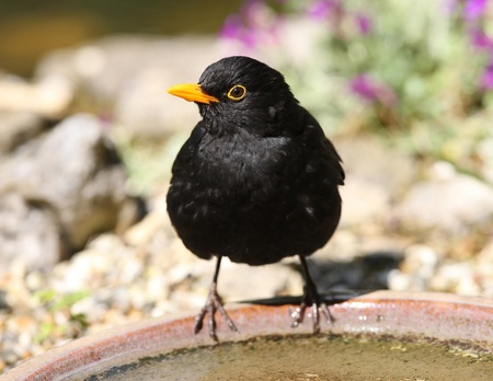 Close u of a Blackbird drinking from a water bowl