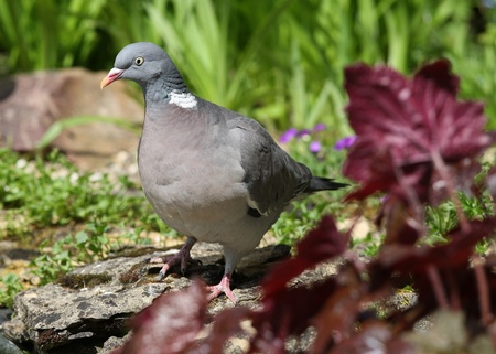 Close up of a pigeon by a pond Stock Photo