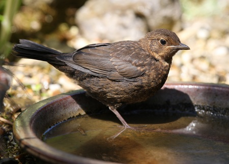 Close up of a baby Blackbird drinking from a water bowl photo