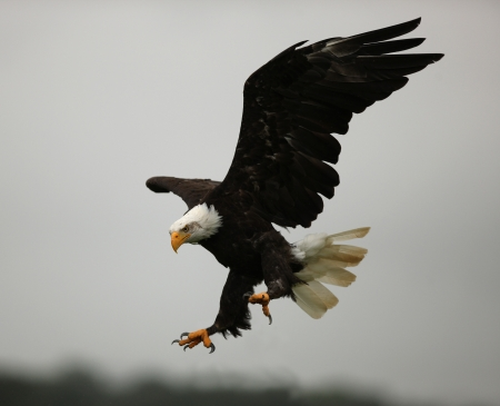 eagle feather: Close up of a Bald Eagle in flight showing his claws