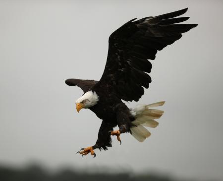 vol d oiseaux: Gros plan d'un pygargue � t�te blanche en vol montrant ses griffes Banque d'images