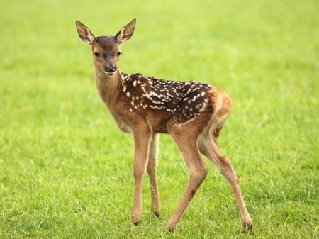 Close up of a baby Fallow Deer Stock Photo