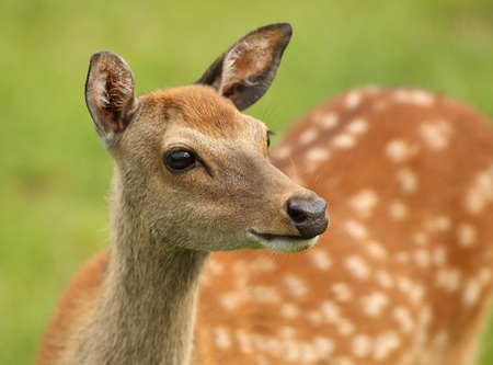 Close up of a female Fallow Deer photo
