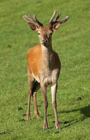 Close up of a young male Red Deer