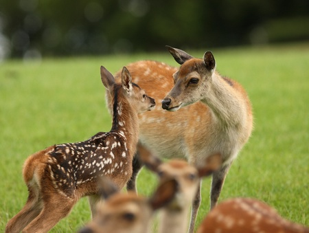 comforted: Close up of a young Fallow deer being comforted by her mother