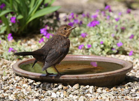 A baby Blackbird about to take a bath in a water bowl photo