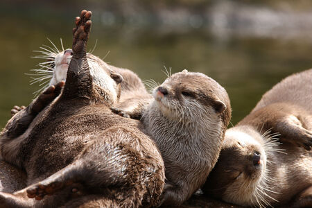 aonyx cinerea: A family of Oriental Short Clawed Otters