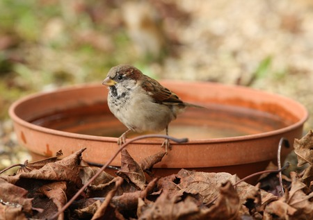 Young House Sparrow about to take a bath