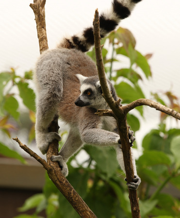ring tailed: Close up of a Ring Tailed Lemur climbing a tree Stock Photo