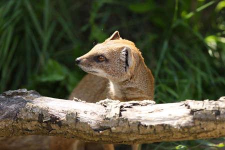 mongoose: Close up of a Yellow Mongoose