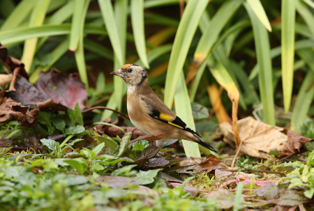 Portrait of a young Goldfinch Stock Photo