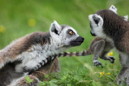 Close up of a Ring Tailed Lemur family