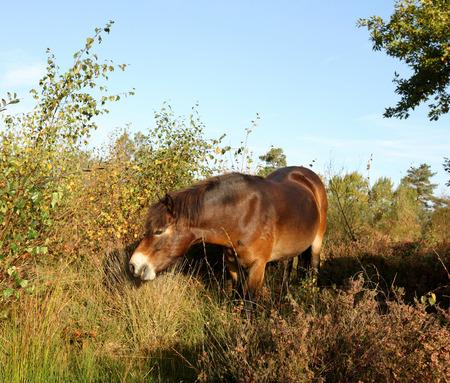 Wild Exmoor ponies walking through a common Stock Photo