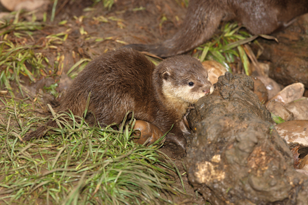 small clawed: A baby of Oriental Short Clawed Otter Stock Photo