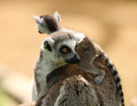 ring tailed: Close up of a mother Ring Tailed Lemur and babies Stock Photo