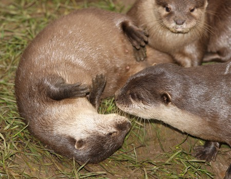 clawed: A family of Oriental Short Clawed Otters