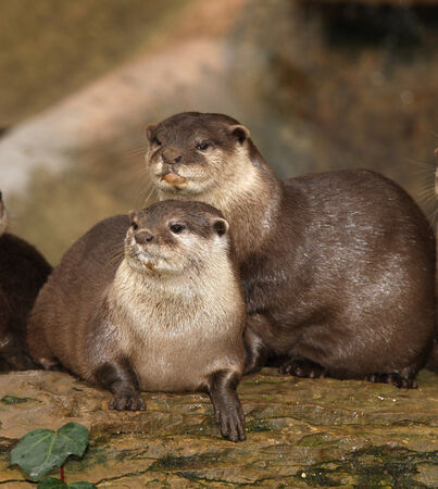 A pair of Oriental Short Clawed Otters