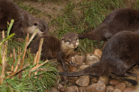 clawed: A baby of Oriental Short Clawed Otter Stock Photo