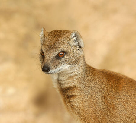 mongoose: Portrait of a Yellow Mongoose