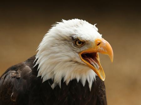 Portrait of a Bald Eagle calling Stock Photo