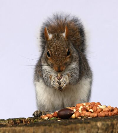 Portrait of a Grey Squirrel enjoying a feast of chestnuts and peanuts Stock Photo