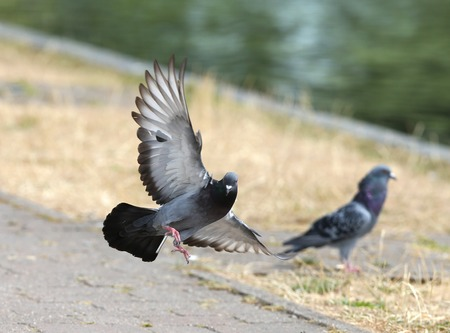 wing span: Close up of a Feral Pigeon in flight