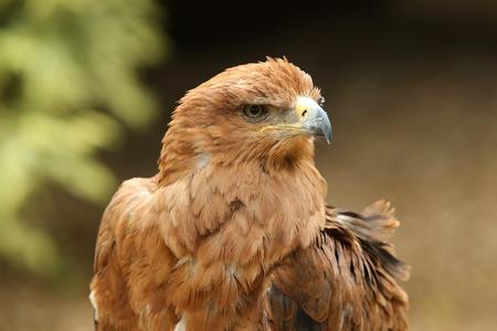 tawny: Portrait of a Tawny Eagle Stock Photo