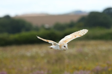 barn: Close up of a Barn Owl flying over a wild flower meadow
