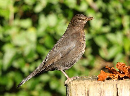 Portrait of a Female Blackbird in Autumn Stock Photo