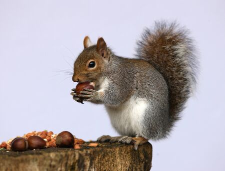 carolinensis: Portrait of a Grey Squirrel enjoying a feast of chestnuts and peanuts Stock Photo