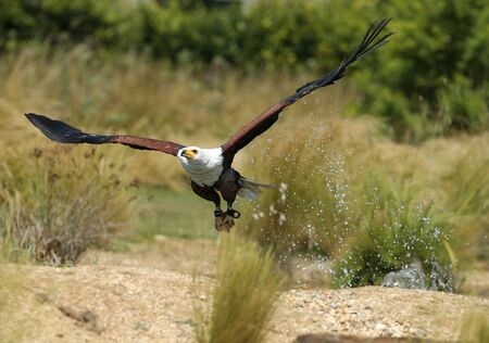 African Fish Eagle catching food