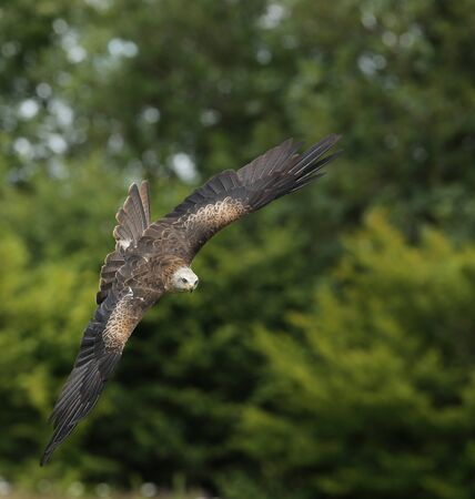 black kite: Close up of a Black Kite in flight