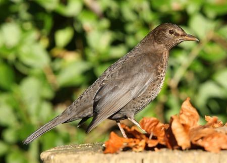 black plumage: Portrait of a Female Blackbird in Autumn Stock Photo