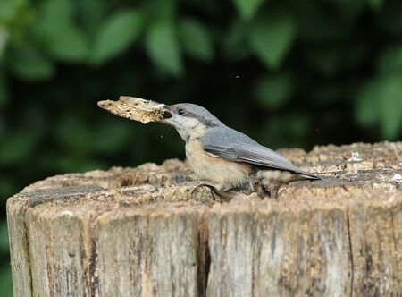 breaking off: Close up of a Nuthatch breaking off a piece of rotten tree stump Stock Photo