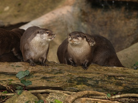 small clawed: A pair of Oriental Short-Clawed Otters Stock Photo