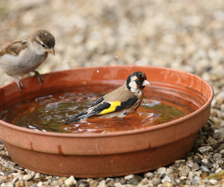 goldfinch: Close up of a young Goldfinch having a bath watched by a young Tree Sparrow Stock Photo