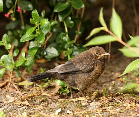 Close up of a baby Blackbird searching for food