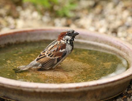 Close up of a House Sparrow enjoying a bath