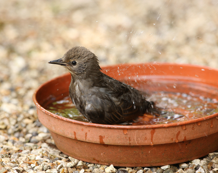 Close up of a young Starling bathing Stock Photo