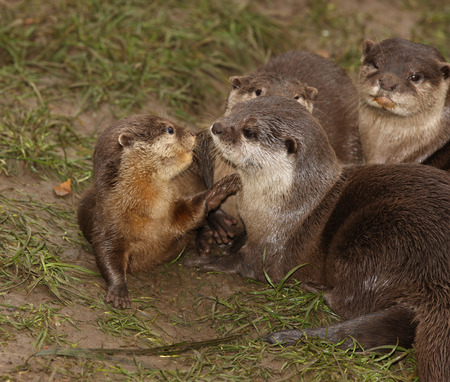 aonyx: Oriental Short Clawed Otters