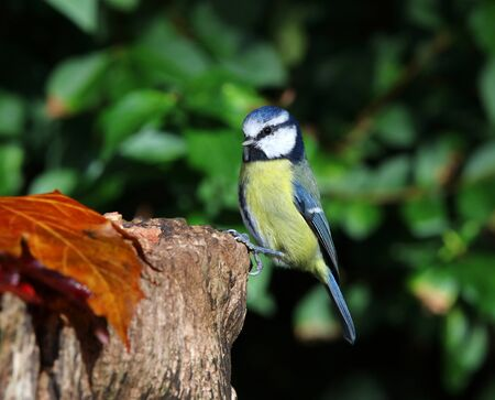 Close up of a Blue Tit perched on a tree trunk in autumn