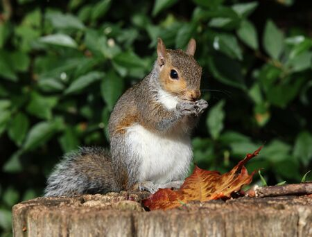 squirrel: Close up of a Grey Squirrel eating nuts on a tree trunk in autumn