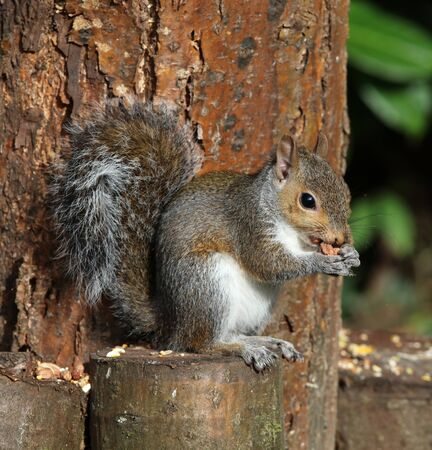 Close up of a Grey Squirrel eating nuts on a tree trunk in autumn