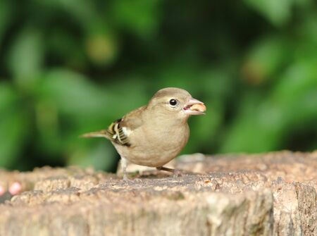 perched: Close up of a female Chaffinch eating nuts on a tree stump