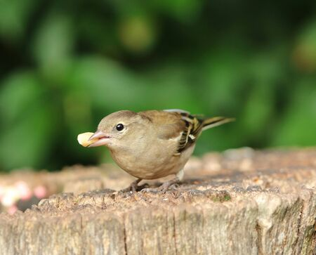 Close up of a female Chaffinch eating nuts on a tree stump