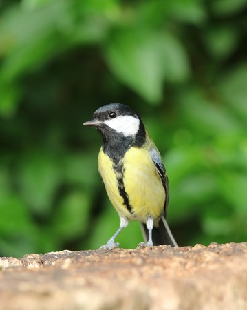 great tit: Portrait of a Great Tit