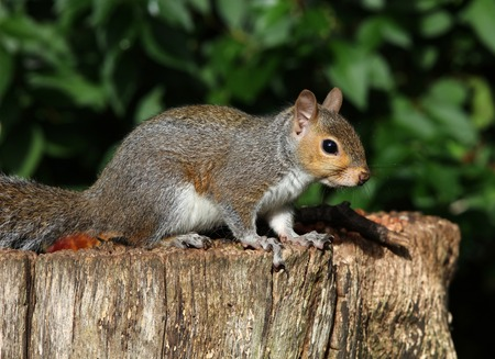 Close up of a Grey Squirrel on a tree trunk in autumn