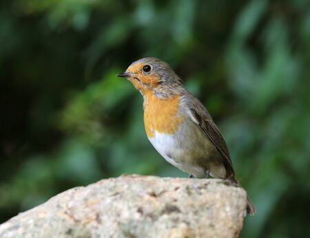 Portrait of a Robin on a rock