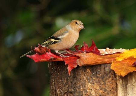 Close up of a male Chaffinch on a tree stump with autumn leaves